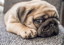 Puppy pug dog. A puppy pug dog lay down on a chair Stock Photo