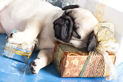 Puppy pug and gifts. Sleeping puppy pug and gifts christmas Stock Photos