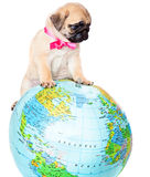 Puppy of pug on globe Royalty Free Stock Photo