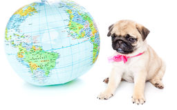 Puppy of pug on globe Royalty Free Stock Images