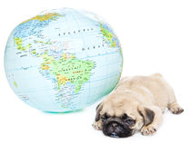 Puppy of pug with globe Stock Photography