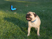 The puppy pug on grass is watching on butterfly, known as Morpho Stock Photo