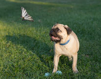 The puppy pug on grass is watching on butterfly