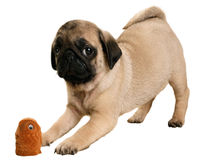 Puppy pug with his toy Royalty Free Stock Photos