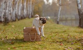 A puppy pug jumping out of a wooden box royalty free stock photography