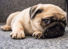 Puppy pug. Lay in chair Stock Images
