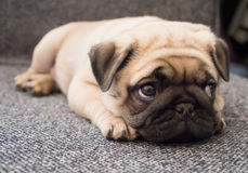 Puppy pug. Lay in chair Royalty Free Stock Photos