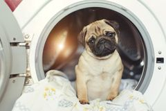Puppy pug lies on the bed linen in the washing machine. A beautiful beige little dog is sad in the bathroom. Puppy pug lies on the bed linen in the washing Stock Image