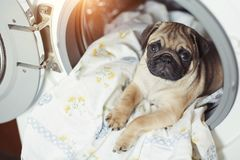 Puppy pug lies on the bed linen in the washing machine. A beautiful beige little dog is sad in the bathroom. Puppy pug lies on the bed linen in the washing royalty free stock photos