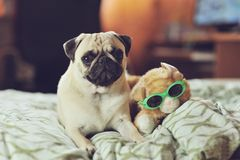 Puppy pug Royalty Free Stock Photo