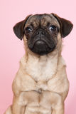 Puppy pug on pink background Royalty Free Stock Image