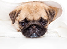 Puppy of pug in towel Royalty Free Stock Photos