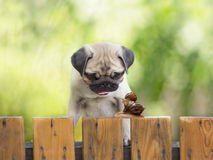 The puppy pug is watching as a large snail carries little snail Stock Image