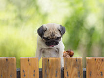The puppy pug is watching crawling snail fence Royalty Free Stock Photography