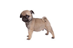 Puppy pug Royalty Free Stock Photography