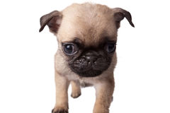 Puppy pug Royalty Free Stock Images