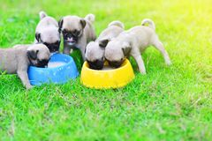 Puppy Pugs eating goat milk. Cute puppy Pugs eating goat milk in dog bowl stock photos