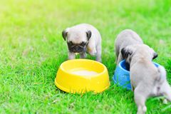 Puppy Pugs eating goat milk. Cute puppy Pugs eating goat milk in dog bowl royalty free stock photography