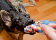 Puppy pulling a tug toy. Funny German shepherd puppy pulling a tug toy (selective focus on the nose stock photo