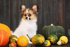 Puppy with pumpkin Royalty Free Stock Photos