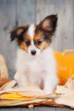 Puppy with pumpkin Stock Images