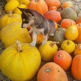 Puppy and pumpkins Royalty Free Stock Photography