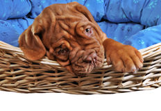 Puppy  in pup cot Royalty Free Stock Photo
