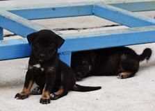 Puppy. Puppies black one is looking Royalty Free Stock Photo