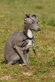 Puppy purebred italian greyhound Royalty Free Stock Images