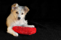 The puppy put paws on the pillow in the shape of a heart with  black background and stares. Selective focus. Cute puppy put paws on a red pillow in the shape of Stock Image