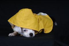 Puppy in Raincoat. Chihuahua puppy dressed in raincoat Royalty Free Stock Photo