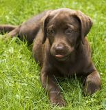 Puppy raspberry. Chocolate lab pup seems to be sticking out her tongue Stock Photo