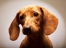 Puppy Rate Stock Images