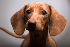 Puppy Rate Royalty Free Stock Image