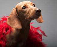 Puppy rate Royalty Free Stock Images