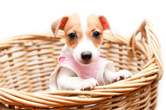 Puppy in rattan basket Royalty Free Stock Photography