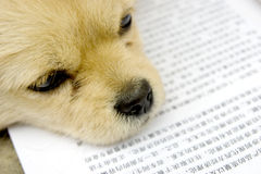 Puppy reading book. Little brown puppy reading books,the book is in Chinese character Royalty Free Stock Photos
