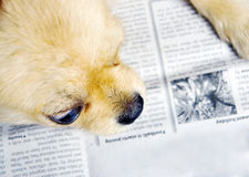 Puppy reading book Royalty Free Stock Image