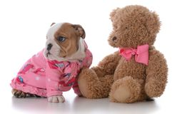 Puppy ready for bed. Bulldog puppy ready for bed with teddy bear on white background Royalty Free Stock Images
