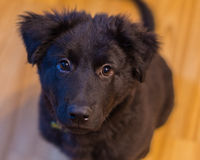 Puppy Ready. Black puppy dog with eager ready face Stock Images