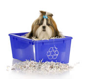 Puppy in recycle bin. Adorable shih tzu puppy sitting in recycle bin on white background Royalty Free Stock Images