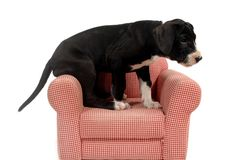 Puppy and red armchair Stock Photography