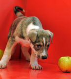 Puppy on a red background Royalty Free Stock Photography