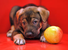 Puppy on a red background Stock Photos