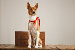 Puppy with a red bow. Low angle shot of a pretty dog with a sateen bow sitting next to a vintage wooden crate in a studio with white walls stock photos