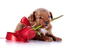 Puppy with a red bow and a rose. Stock Photo