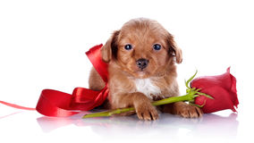 Puppy with a red bow and a rose. Stock Photography