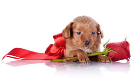 Puppy with a red bow and a rose. Royalty Free Stock Photo