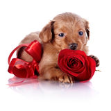 Puppy with a red bow and a rose. Royalty Free Stock Photos