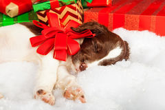Puppy With Red Bow Sleeping On Fur By Gifts. English Springer Spaniel puppy with red bow sleeping on fur by gifts Royalty Free Stock Photo